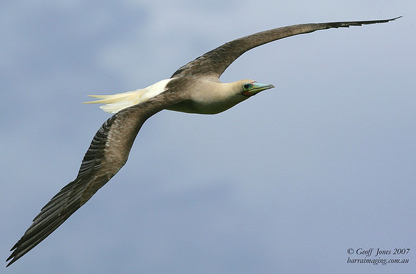 Red Footed Booby dark morph