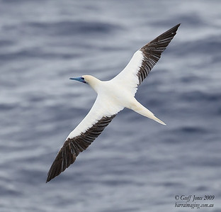 Red Footed Booby white morph