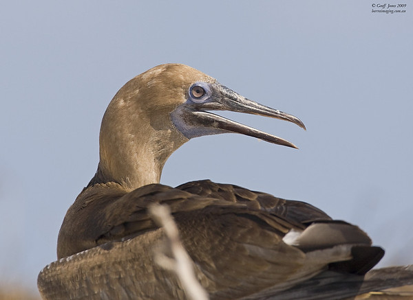 Red Footed Booby immature