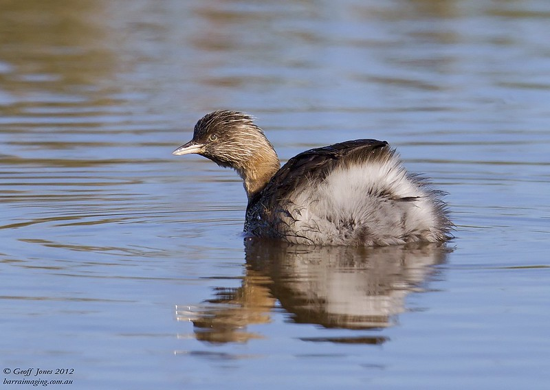 Hoary-headed Grebe breeding plumage
