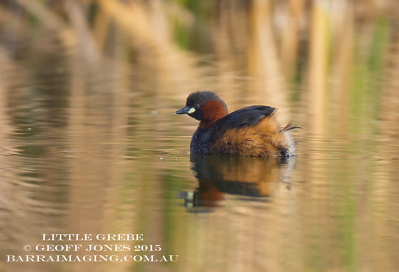 Little Grebe breeding