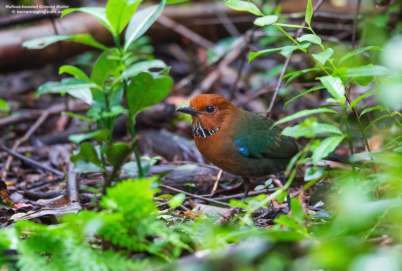 Rufous-headed Ground Roller