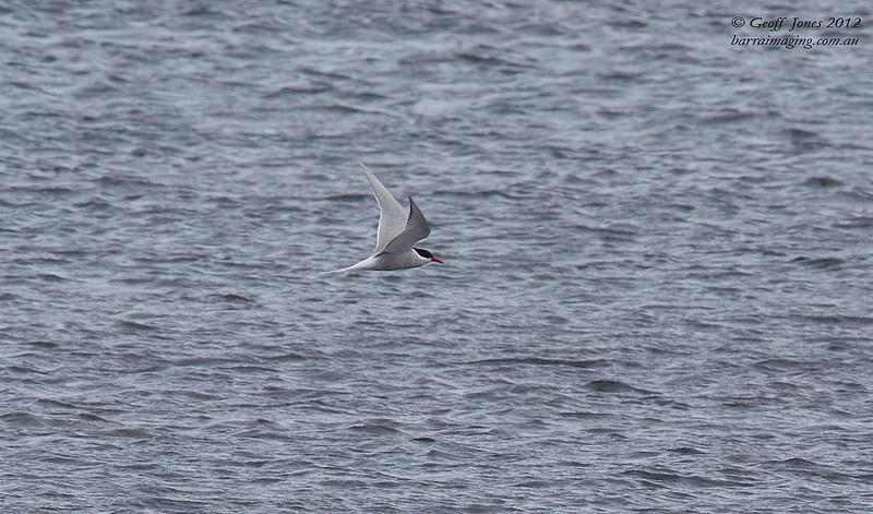Antarctic Tern ( Sterna vittata ) Heard Island Aus Nov 2012.jpg AU01819a