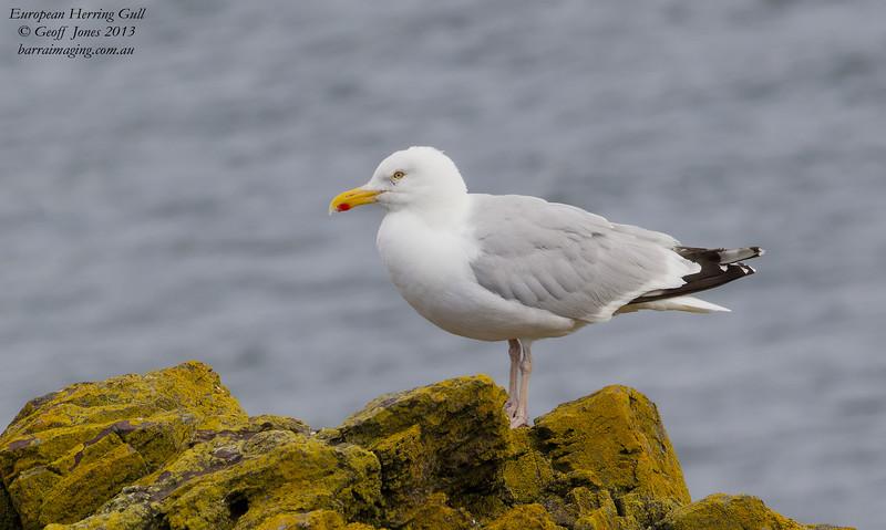 European Herring Gull