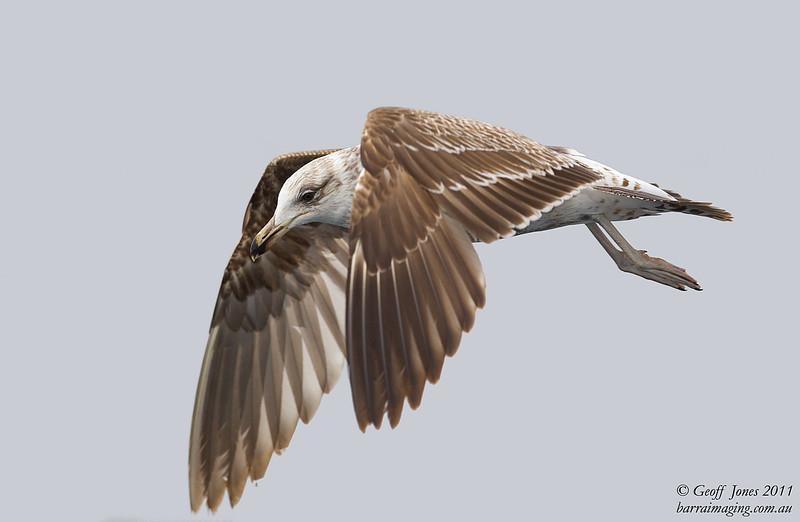 Kelp Gull immature