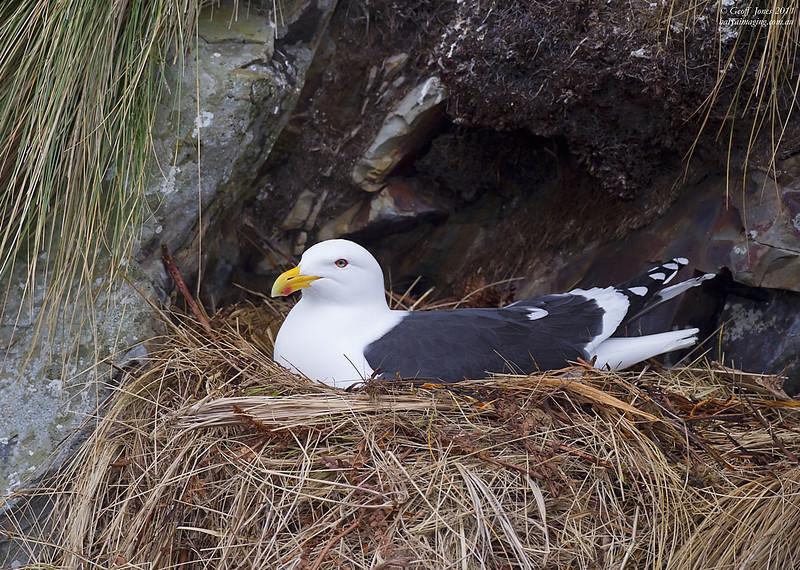 Kelp Gull ( Larus dominicanus ) Campbell Island NZ Nov 2010.jpg NZ01776c