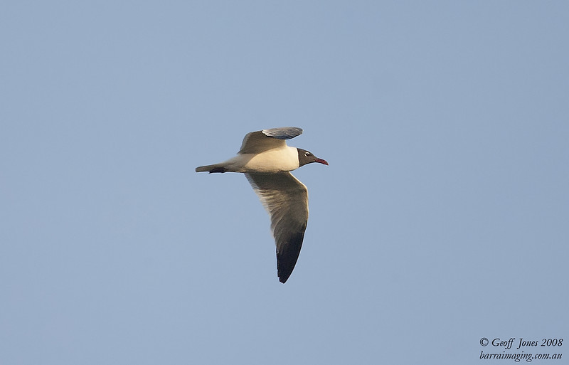 Laughing Gull breeding plumage