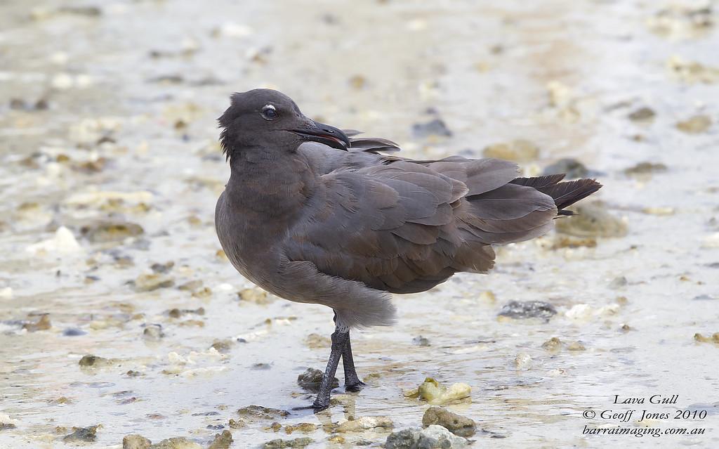 Lava Gull immature