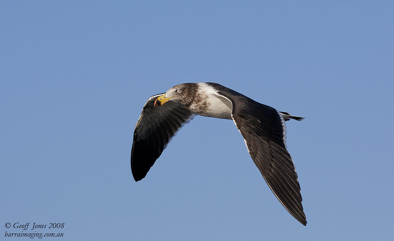 Pacific Gull immature