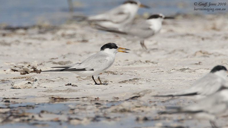 Saunder's Tern breeding