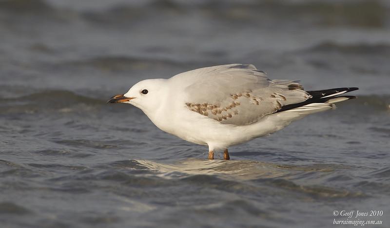 Silver Gull immature