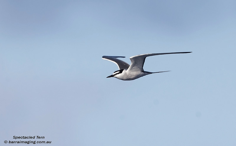 Spectacled Tern