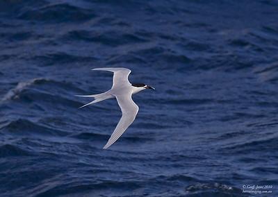White-fronted Tern ( Sterna striata ) The Chathams NZ Nov 2010.jpg NZ01813d
