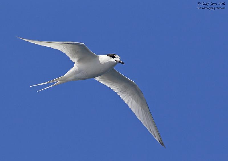 White-fronted Tern ( Sterna striata ) The Chathams NZ Nov 2010.jpg NZ01813c