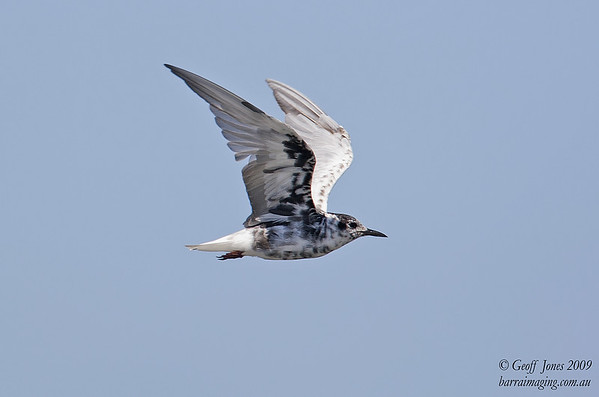 White-winged Tern partial breeding plumage