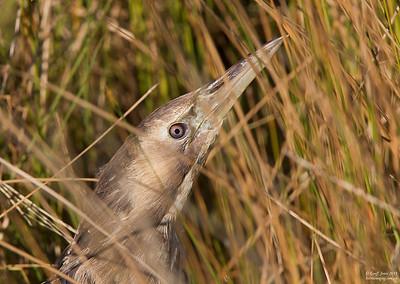 Australasian Bittern