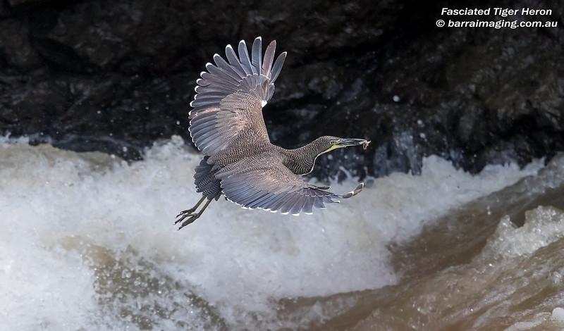 Fasciated Tiger Heron