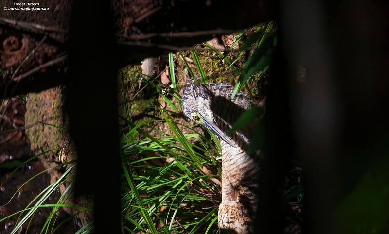 Zonerodius heliosylus, Varirata Nat Park, PNG Sept 2009 PNG-FOBI-02