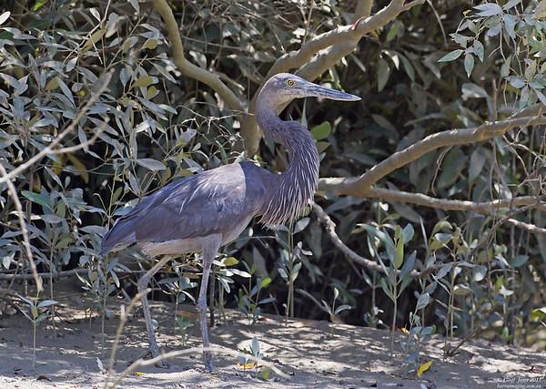 Great-billed Heron male