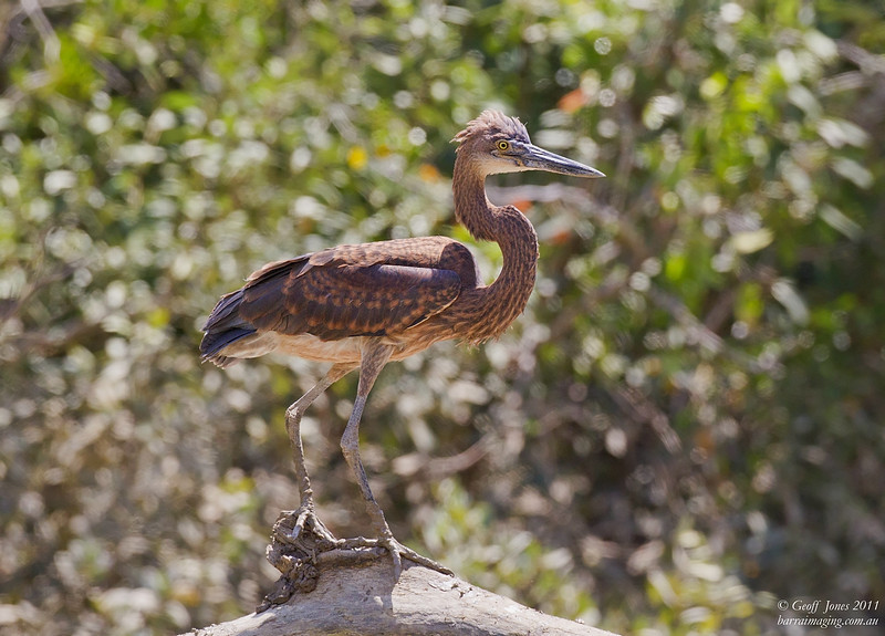 Great-billed Heron immature