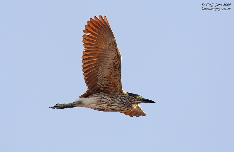 Nankeen Night Heron immature