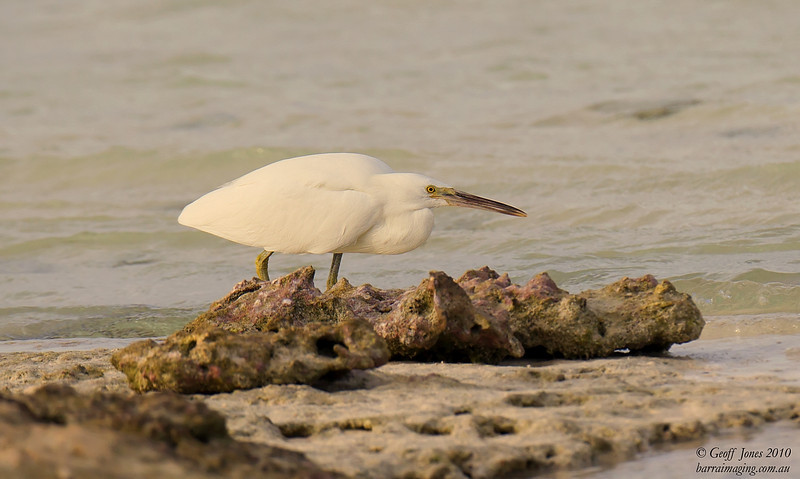 Pacific Reef Heron white morph