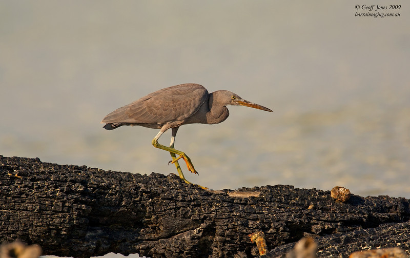 Pacific Reef Heron dark morph
