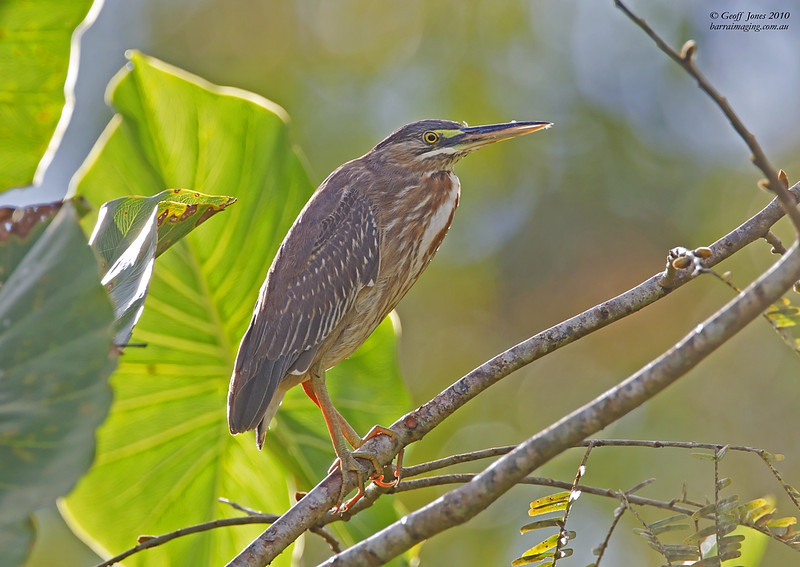 Striated Heron immature
