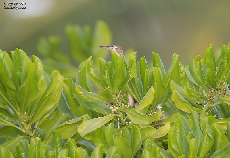 Yellow Bittern ( Ixobrychus sinensis ) AU-YEBI-01 Cocos-Keeling Feb 2011