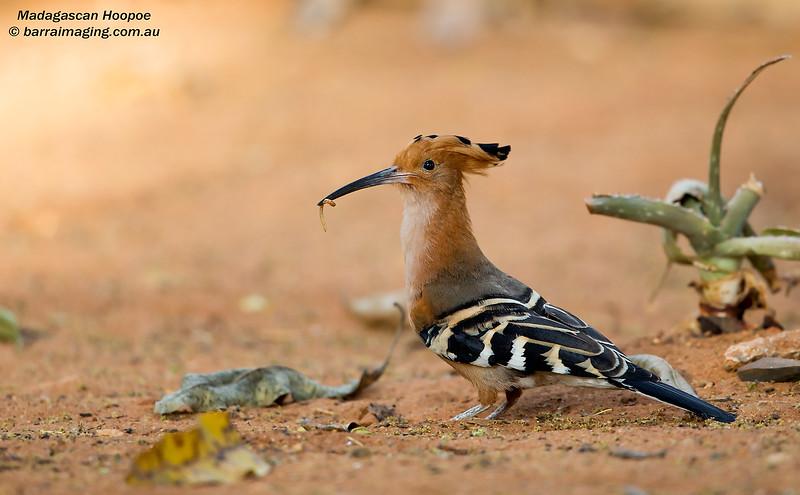 Madagascan Hoopoe