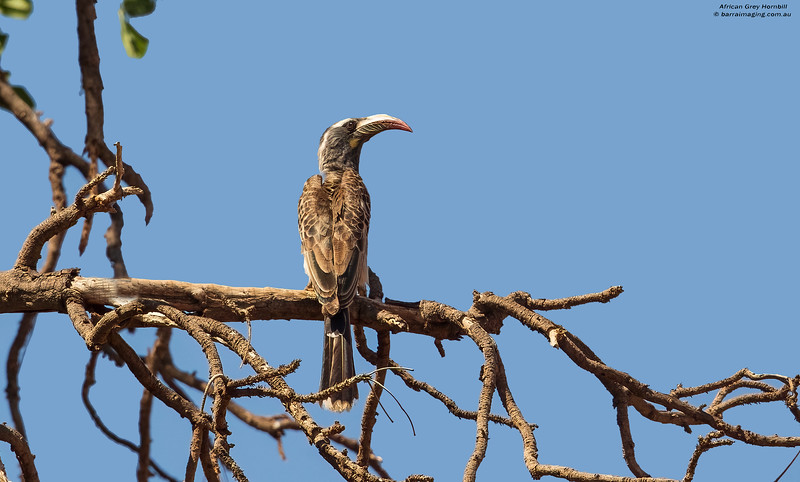 African Grey Hornbill female