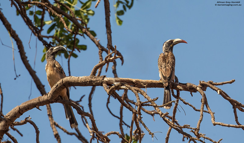 African Grey Hornbill male and female