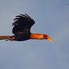 Blyth's Hornbill male