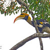Great Hornbill male