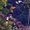 Great Hornbill female