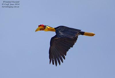 Wrinkled Hornbill male