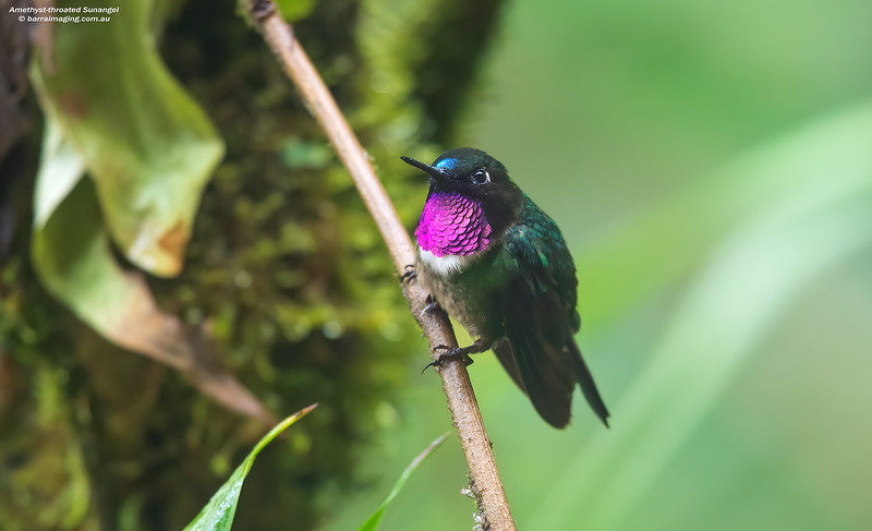 Amethyst-throated Sunangel male