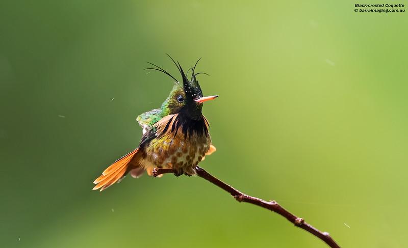 Black-crested Coquette male