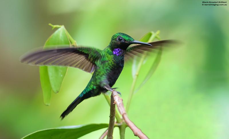 Black-throated Brilliant male