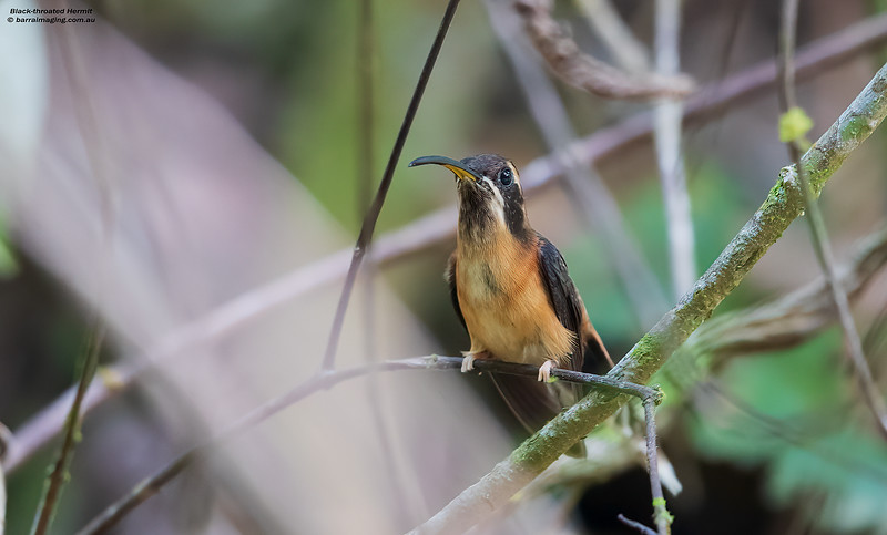 Black-throated Hermit male