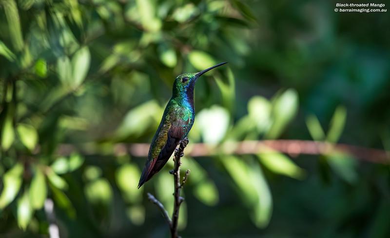 Black-throated Mango male