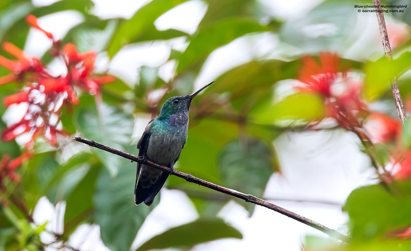 Blue-chested Hummingbird male