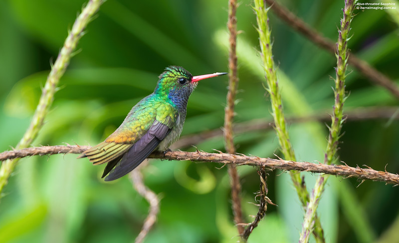 Blue-throated Sapphire male