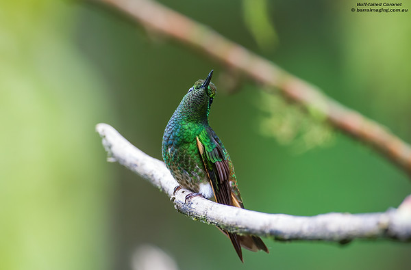 Buff-tailed Coronet male