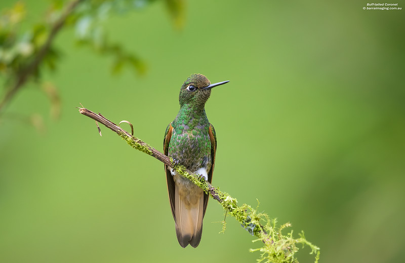 Buff-tailed Coronet female