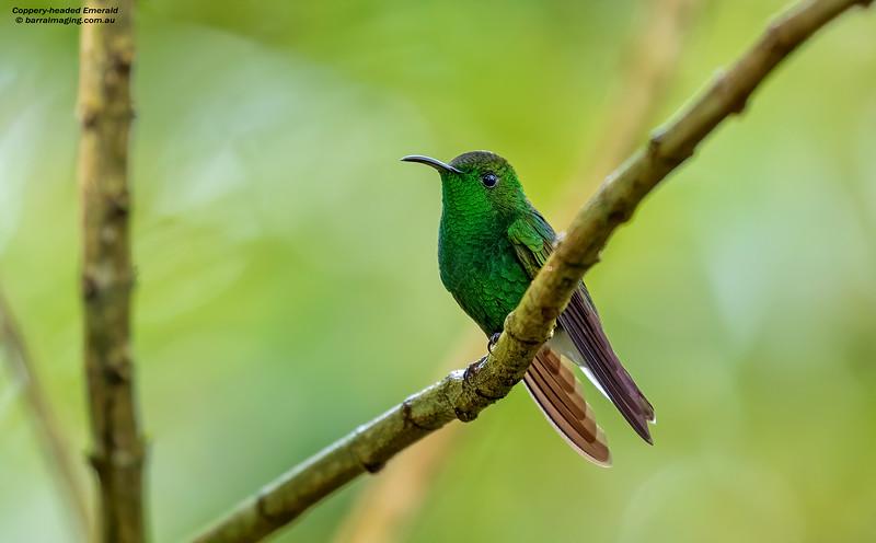 Coppery-headed Emerald male