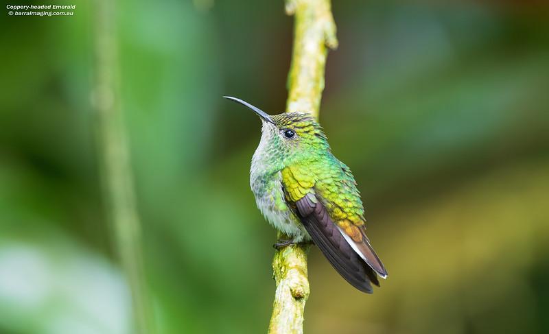 Coppery-headed Emerald female