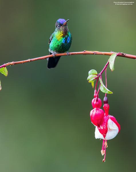 Fiery-throated Hummingbird immature