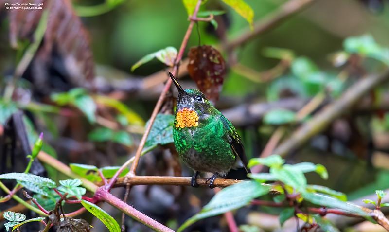 Flame-throated Sunangel male