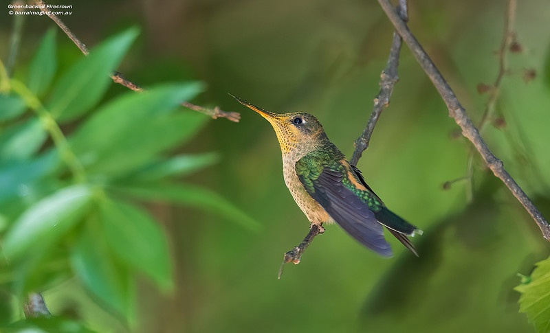 Green-backed Firecrown female
